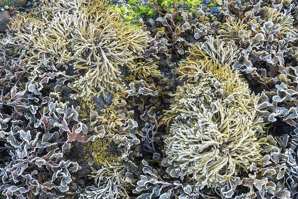 1083 Castle Stalker Sea Weed