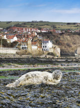 2682 A young Grey Seal on the beach at Robin Hoods Bay