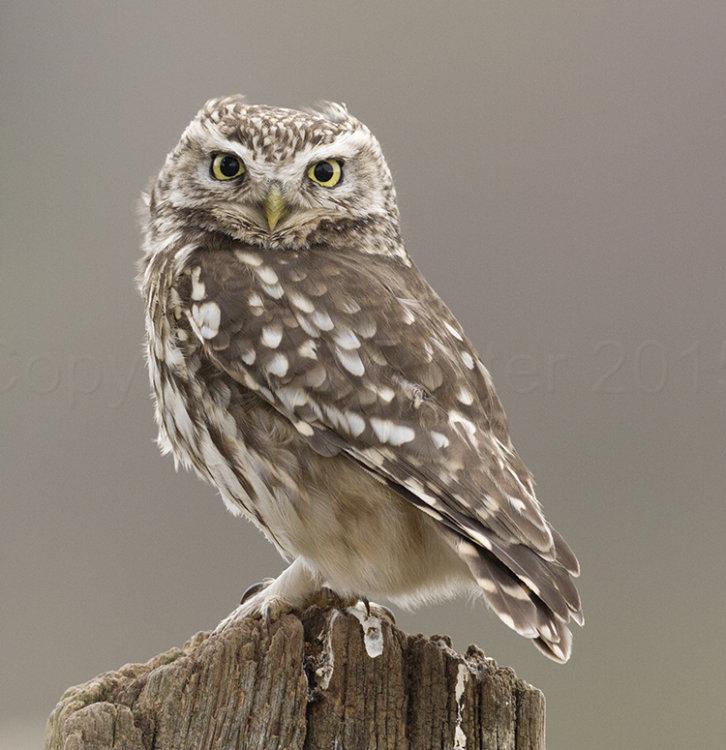 4234 Little Owl