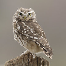 4234 Little Owl