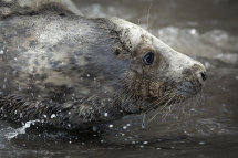 4655 Grey Seal