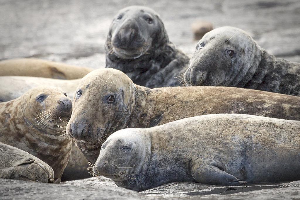 4664 Grey Seals