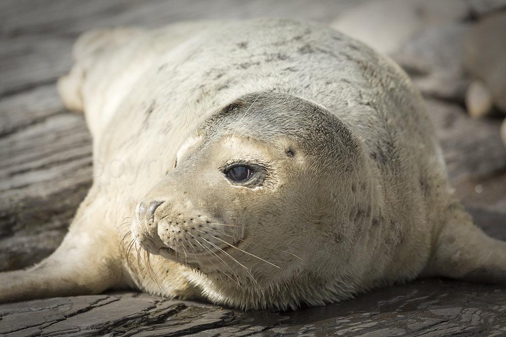 4675 Grey Seal Pup