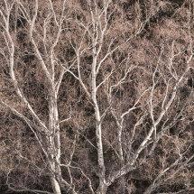 5130 Sunlit Birch