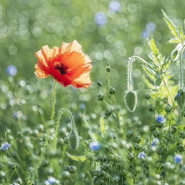 5802 Poppy & Flax