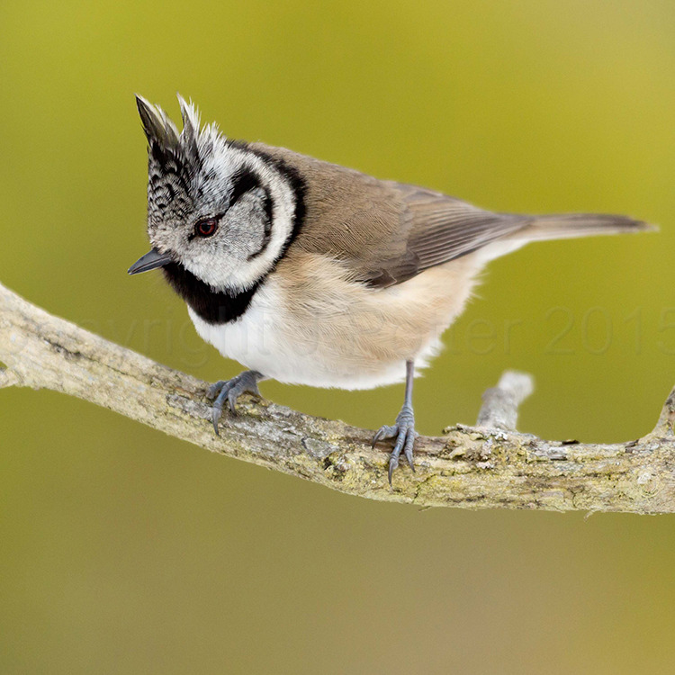 2000 Crested Tit