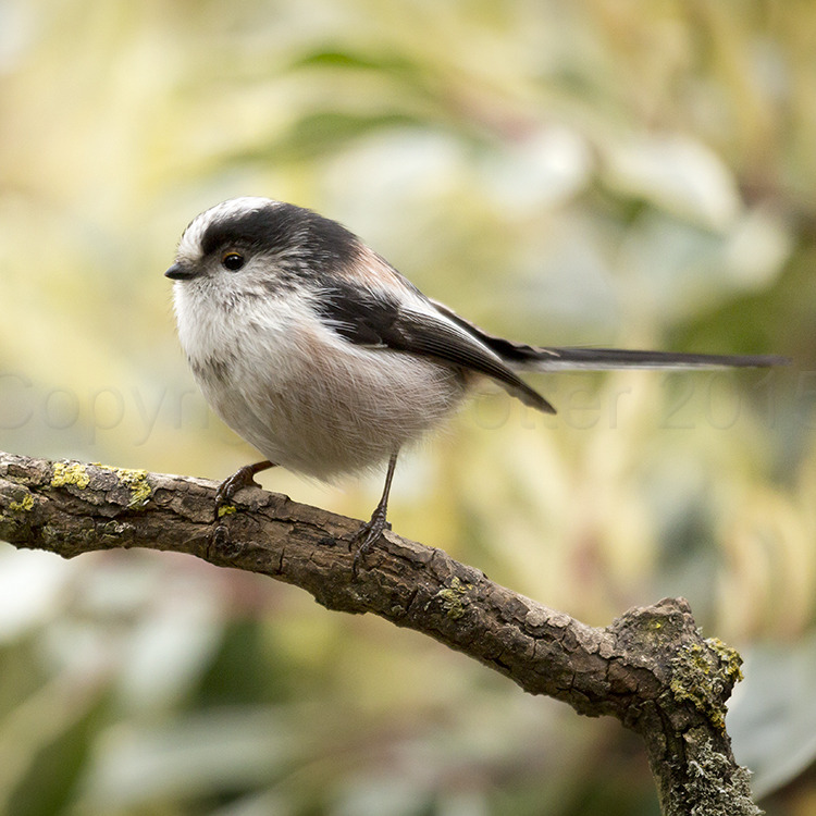 4033 Long Tailed Tit