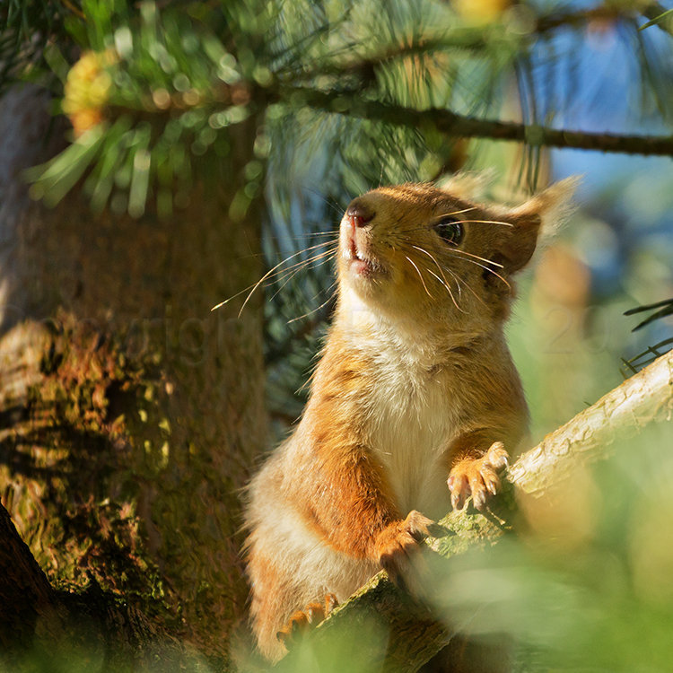 6726 Red Squirrel