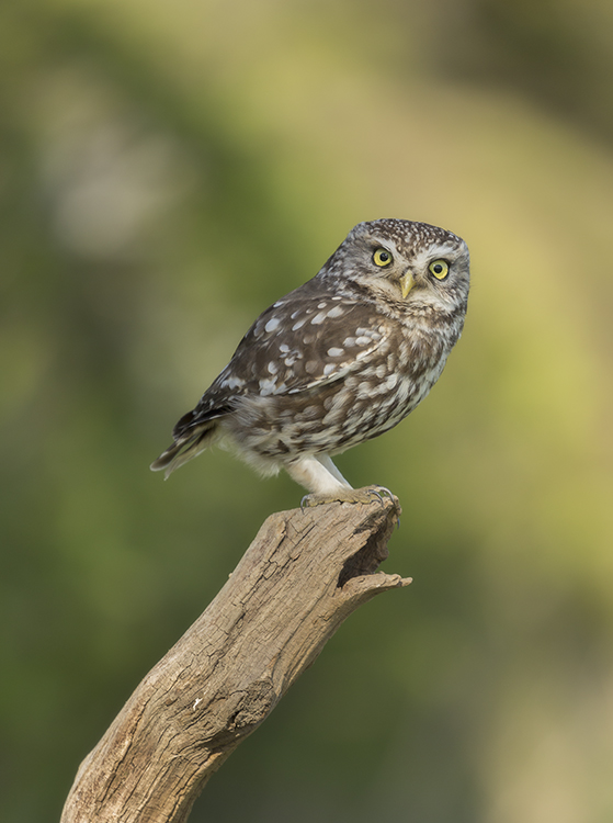 7183 Little Owl