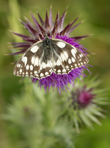 7441 Marbled White