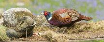 7711 Pheasant PANORAMA