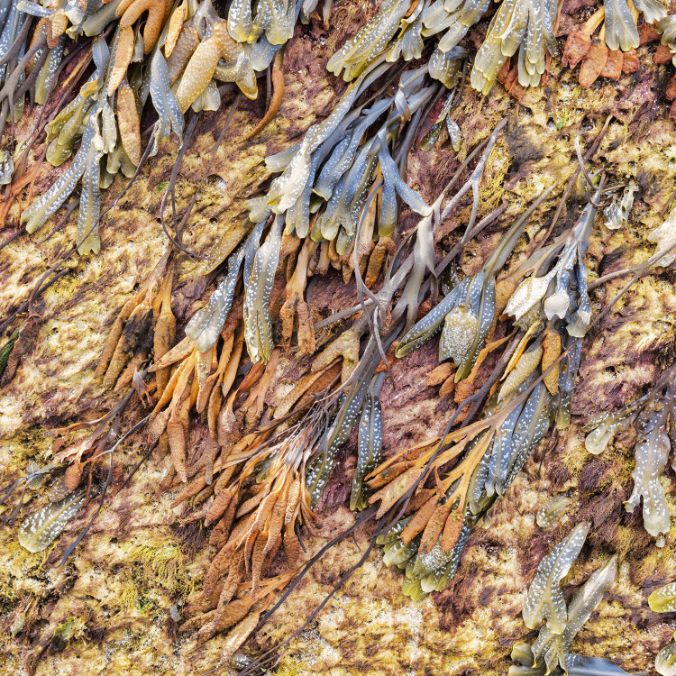 8111 Seaweed Singing Sands Isle of Eigg