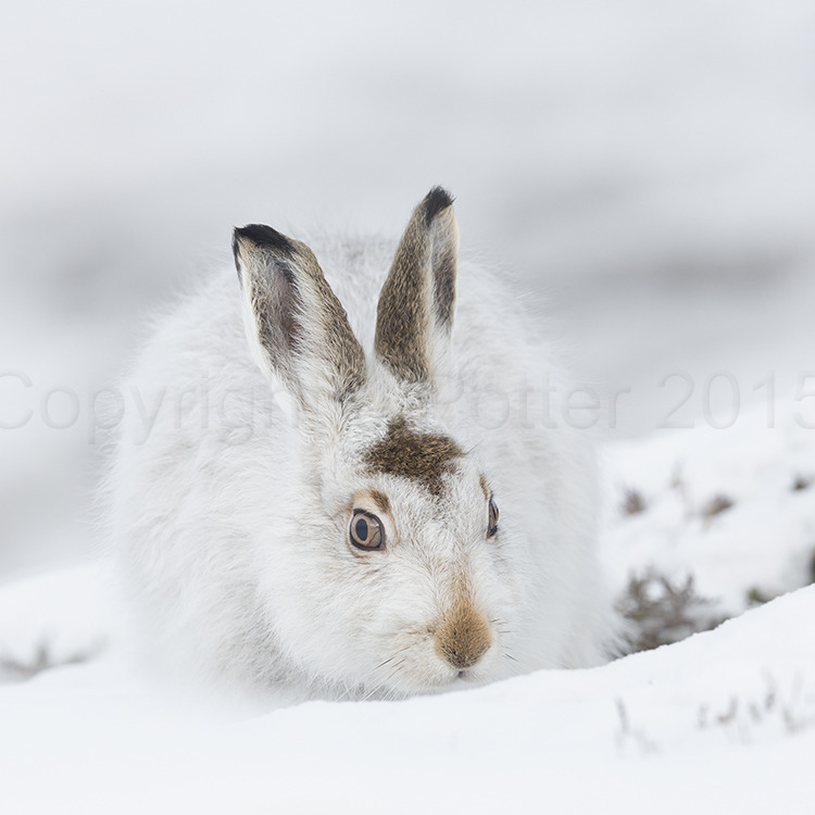 8635 Mountain Hare