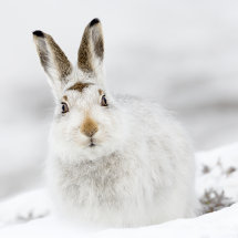 8642 Mountain Hare