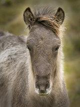 8867 Icelandic Horse