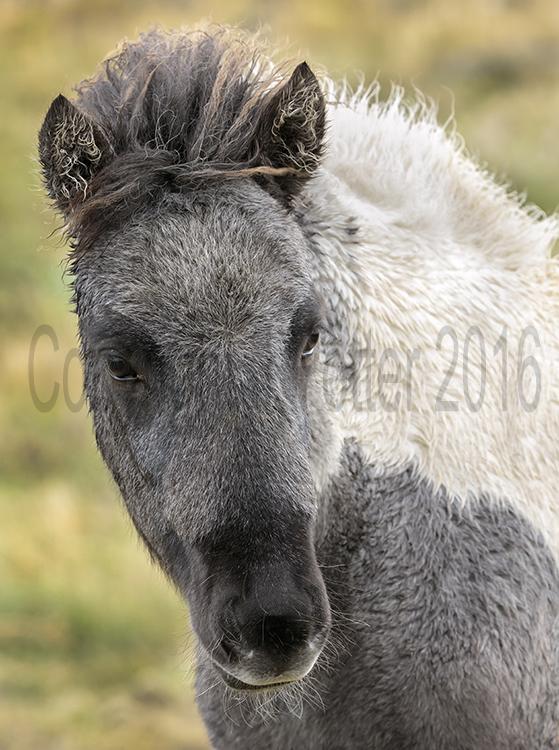 8881 Icelandic Horse