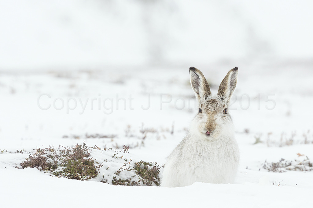 8934 Mountain Hare
