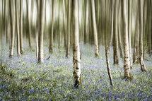 9014 Bluebell Wood