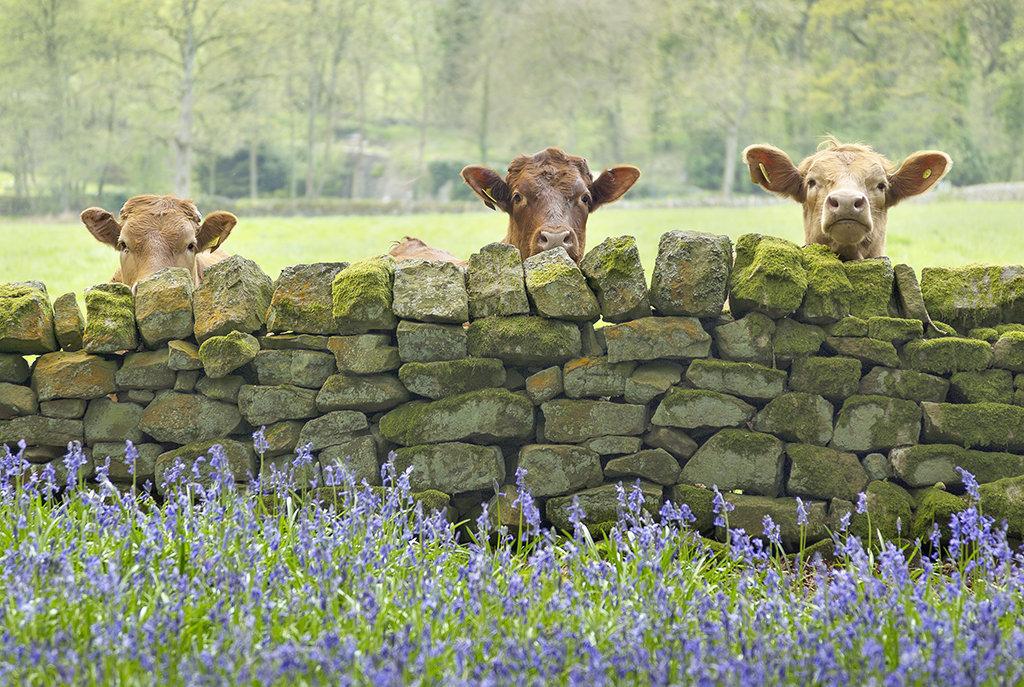9018 Curious Cows
