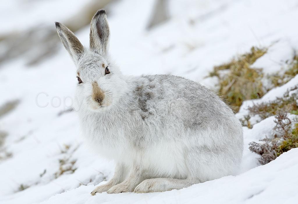 9043 Mountain Hare