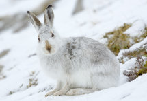 9043 Mountain Hare