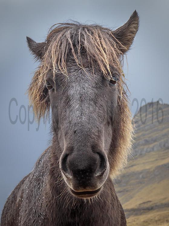 9069 Icelandic Horse