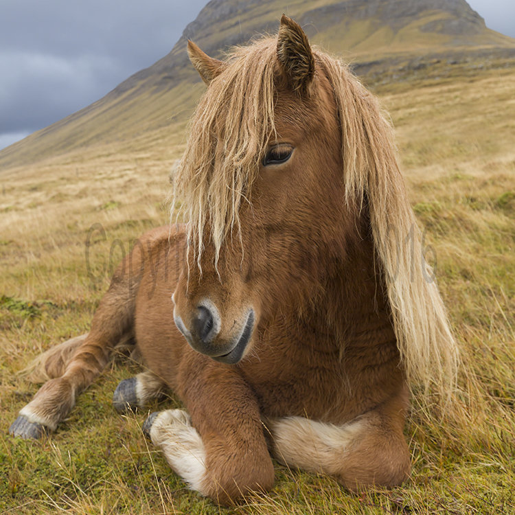 9076 Icelandic Horse