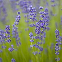 9109 Lavender