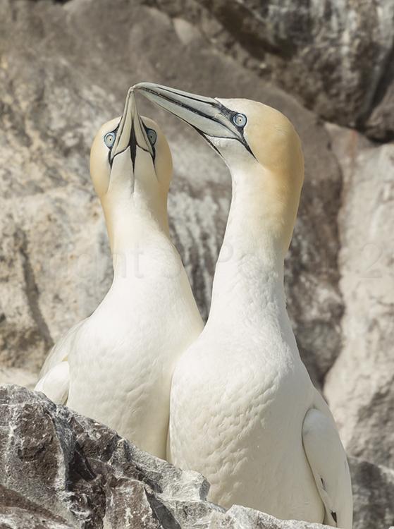 9577 Gannett TLC! Bass Rock Scotland