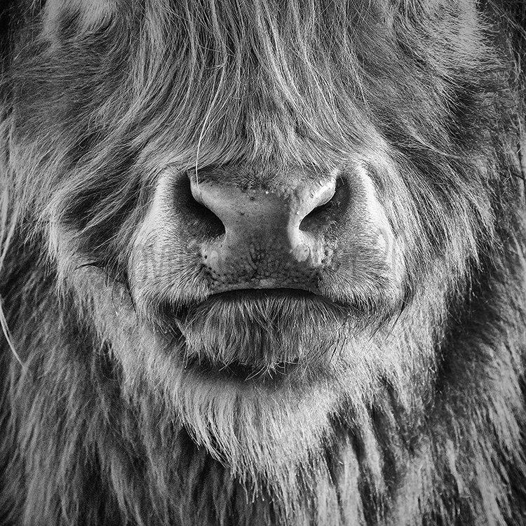 9748 Highland Cow Mono Loch Achray