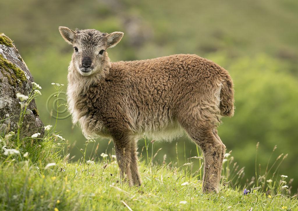 9885 Soay Lamb
