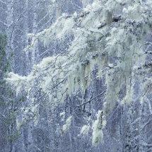 0096 Lichen Drapes Glen Afric