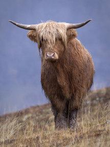 0148 Highland Cow