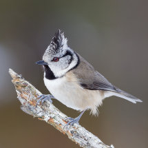 2945 Crested Tit