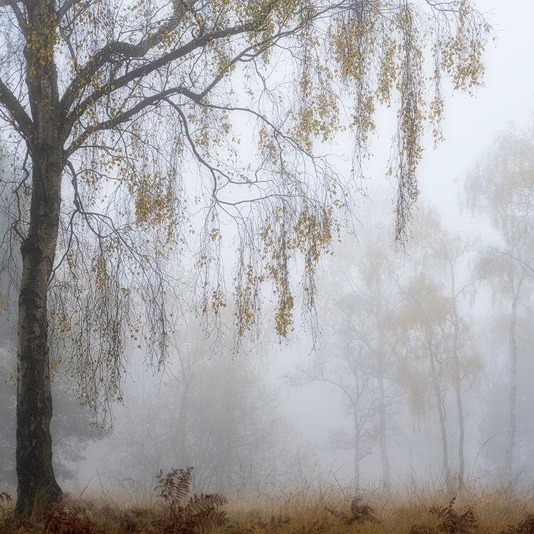 41 Strensall Silver Birch