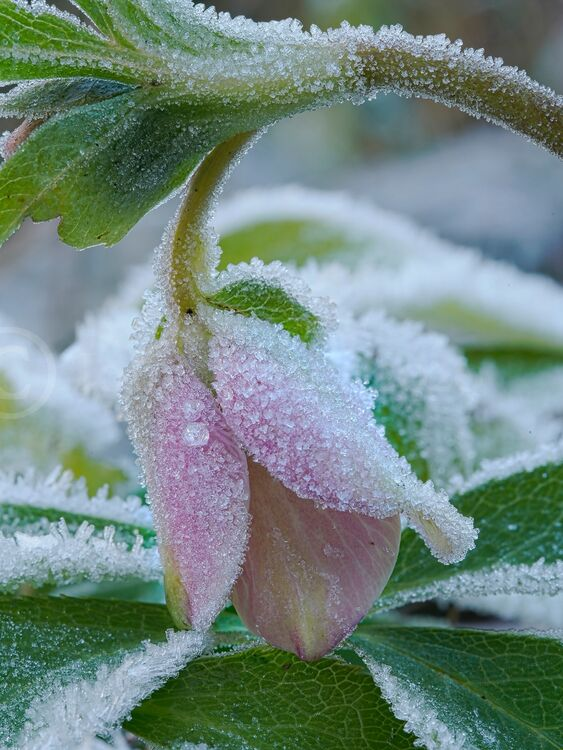 1226 Frosted Hellebore