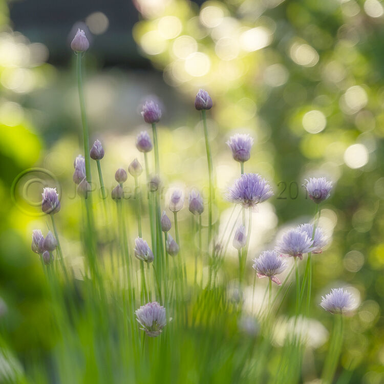8023 Chives in Bloom