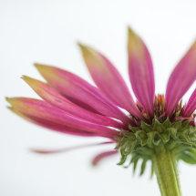 4350 Echinacea