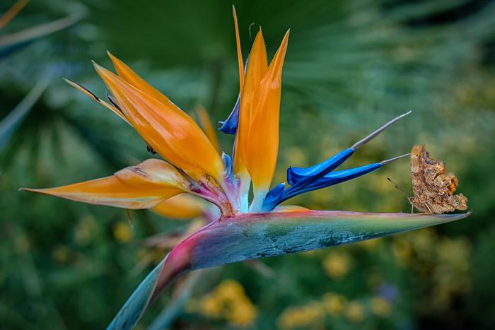 Bird of Paradise?