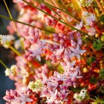 English Stonecrop (Sedum anglicum)