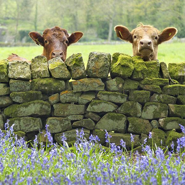 170 Curious Cows