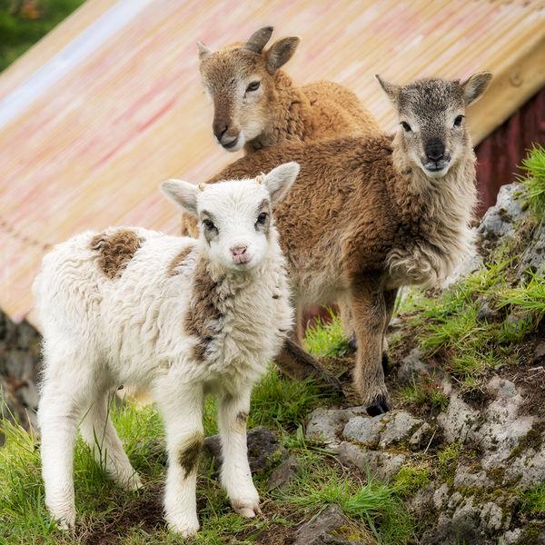 180 Soay Lambs, Eigg Organics, Cleadale, Isle of Eigg.