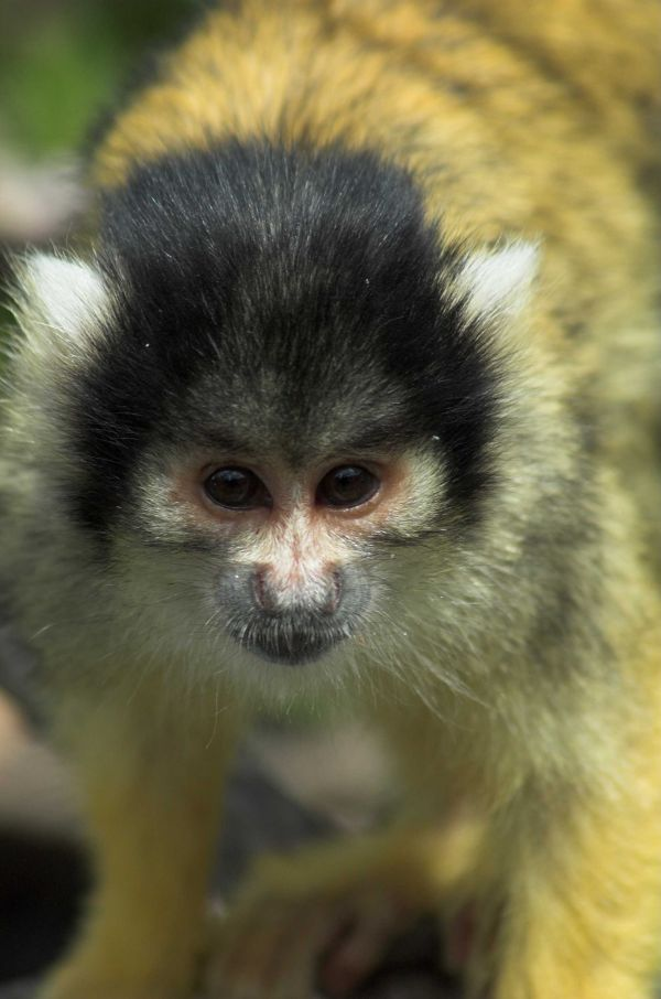 Squirral Monkey