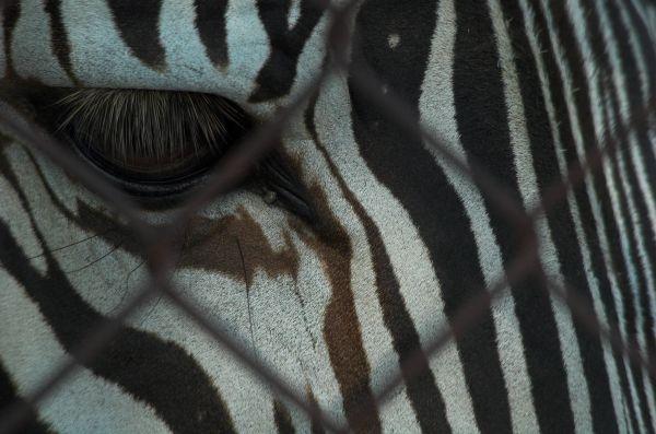 Gravvy Zebra