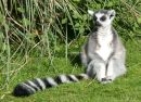 Ring-tailed Lemur, Whipsnade