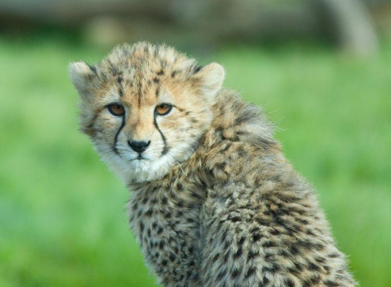 Cheetah cub, Whipsnade