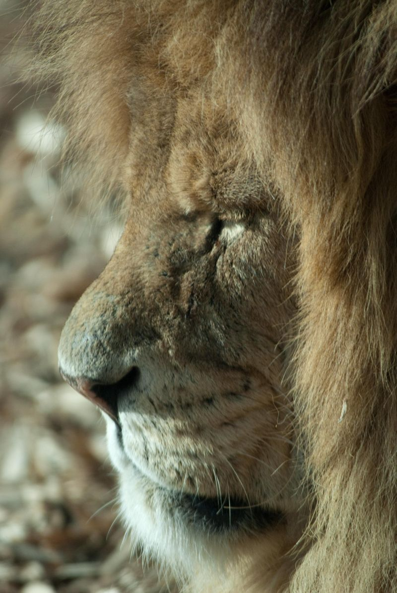 lion, Whipsnade