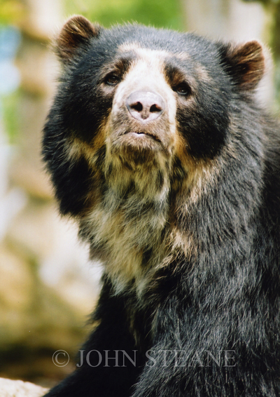 Andean bear, Jersey Zoo