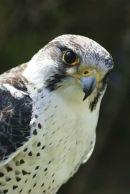 'Grace', a Gyr Falcon