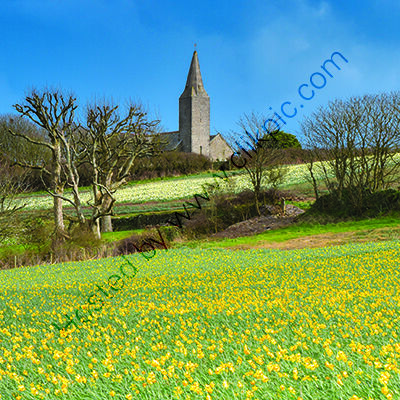 Daffodils in the fields below Rame Church, in the far eastern (forgotten) corner of Cornwall.